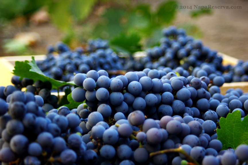 cabernet sauvignon grapes 2014