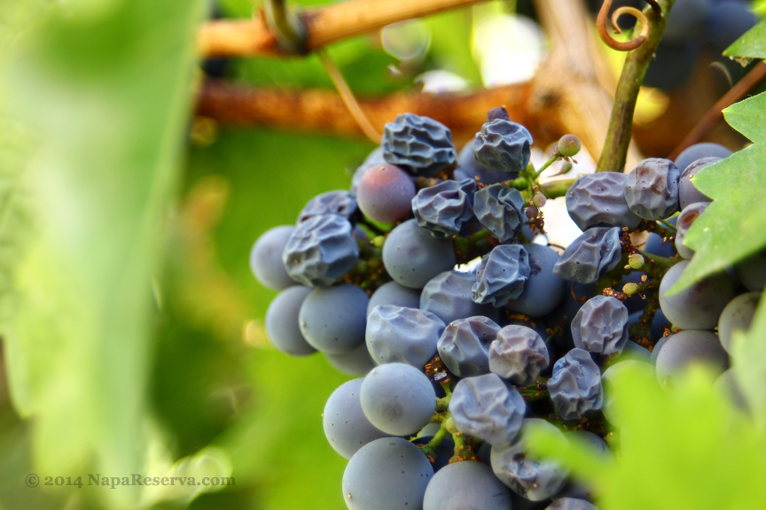 rasinate grapes 2